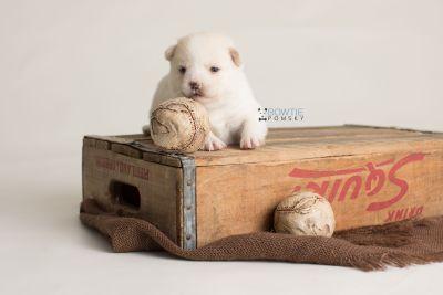 puppy136 week3 BowTiePomsky.com Bowtie Pomsky Puppy For Sale Husky Pomeranian Mini Dog Spokane WA Breeder Blue Eyes Pomskies Celebrity Puppy web-logo7