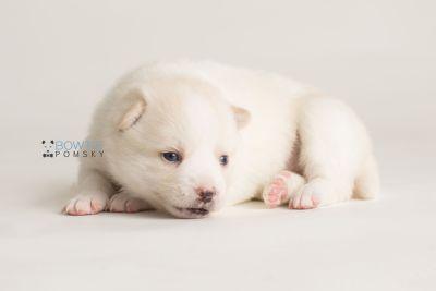 puppy136 week3 BowTiePomsky.com Bowtie Pomsky Puppy For Sale Husky Pomeranian Mini Dog Spokane WA Breeder Blue Eyes Pomskies Celebrity Puppy web-logo9