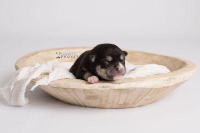 puppy137 week1 BowTiePomsky.com Bowtie Pomsky Puppy For Sale Husky Pomeranian Mini Dog Spokane WA Breeder Blue Eyes Pomskies Celebrity Puppy web5