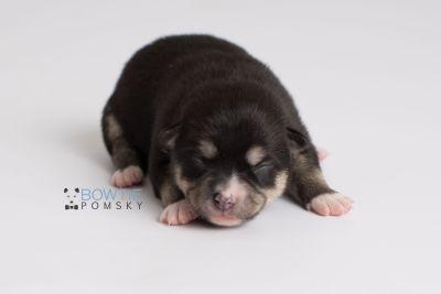 puppy137 week1 BowTiePomsky.com Bowtie Pomsky Puppy For Sale Husky Pomeranian Mini Dog Spokane WA Breeder Blue Eyes Pomskies Celebrity Puppy web6