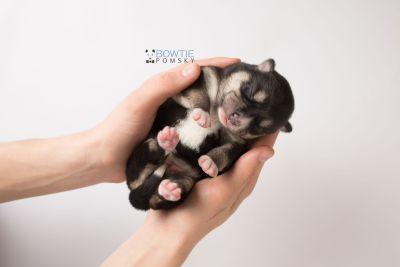 puppy137 week1 BowTiePomsky.com Bowtie Pomsky Puppy For Sale Husky Pomeranian Mini Dog Spokane WA Breeder Blue Eyes Pomskies Celebrity Puppy web8