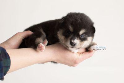 puppy137 week3 BowTiePomsky.com Bowtie Pomsky Puppy For Sale Husky Pomeranian Mini Dog Spokane WA Breeder Blue Eyes Pomskies Celebrity Puppy web-logo9