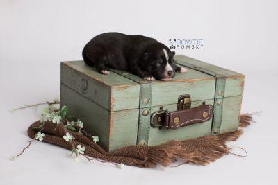 puppy138 week1 BowTiePomsky.com Bowtie Pomsky Puppy For Sale Husky Pomeranian Mini Dog Spokane WA Breeder Blue Eyes Pomskies Celebrity Puppy web4
