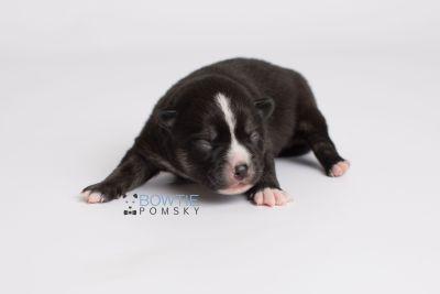 puppy138 week1 BowTiePomsky.com Bowtie Pomsky Puppy For Sale Husky Pomeranian Mini Dog Spokane WA Breeder Blue Eyes Pomskies Celebrity Puppy web5