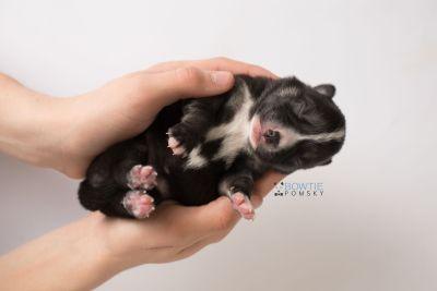 puppy138 week1 BowTiePomsky.com Bowtie Pomsky Puppy For Sale Husky Pomeranian Mini Dog Spokane WA Breeder Blue Eyes Pomskies Celebrity Puppy web9