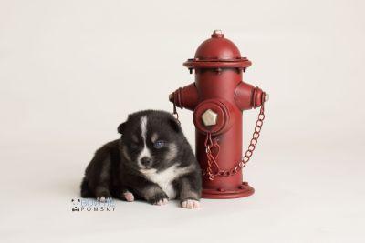 puppy138 week3 BowTiePomsky.com Bowtie Pomsky Puppy For Sale Husky Pomeranian Mini Dog Spokane WA Breeder Blue Eyes Pomskies Celebrity Puppy web-logo3