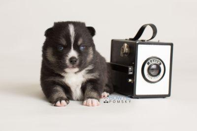 puppy138 week3 BowTiePomsky.com Bowtie Pomsky Puppy For Sale Husky Pomeranian Mini Dog Spokane WA Breeder Blue Eyes Pomskies Celebrity Puppy web-logo4