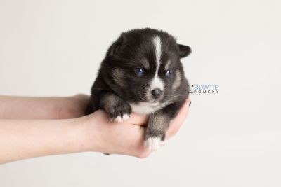 puppy138 week3 BowTiePomsky.com Bowtie Pomsky Puppy For Sale Husky Pomeranian Mini Dog Spokane WA Breeder Blue Eyes Pomskies Celebrity Puppy web-logo8