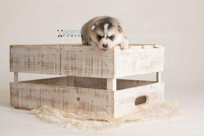 puppy139 week3 BowTiePomsky.com Bowtie Pomsky Puppy For Sale Husky Pomeranian Mini Dog Spokane WA Breeder Blue Eyes Pomskies Celebrity Puppy web-logo2