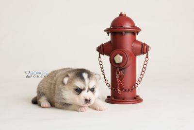 puppy139 week3 BowTiePomsky.com Bowtie Pomsky Puppy For Sale Husky Pomeranian Mini Dog Spokane WA Breeder Blue Eyes Pomskies Celebrity Puppy web-logo3
