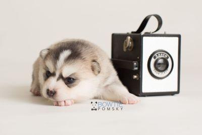 puppy139 week3 BowTiePomsky.com Bowtie Pomsky Puppy For Sale Husky Pomeranian Mini Dog Spokane WA Breeder Blue Eyes Pomskies Celebrity Puppy web-logo4