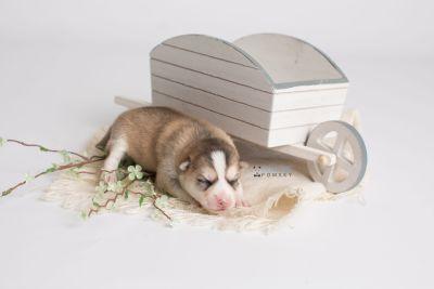puppy140 week1 BowTiePomsky.com Bowtie Pomsky Puppy For Sale Husky Pomeranian Mini Dog Spokane WA Breeder Blue Eyes Pomskies Celebrity Puppy web2