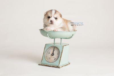 puppy140 week3 BowTiePomsky.com Bowtie Pomsky Puppy For Sale Husky Pomeranian Mini Dog Spokane WA Breeder Blue Eyes Pomskies Celebrity Puppy web-logo1