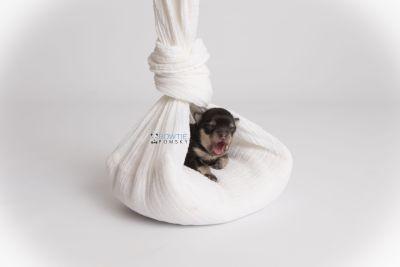 puppy141 week1 BowTiePomsky.com Bowtie Pomsky Puppy For Sale Husky Pomeranian Mini Dog Spokane WA Breeder Blue Eyes Pomskies Celebrity Puppy web2