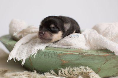 puppy141 week1 BowTiePomsky.com Bowtie Pomsky Puppy For Sale Husky Pomeranian Mini Dog Spokane WA Breeder Blue Eyes Pomskies Celebrity Puppy web4