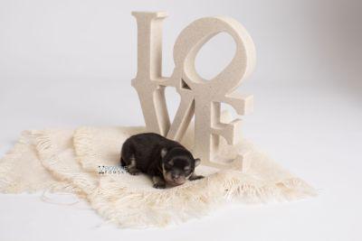puppy141 week1 BowTiePomsky.com Bowtie Pomsky Puppy For Sale Husky Pomeranian Mini Dog Spokane WA Breeder Blue Eyes Pomskies Celebrity Puppy web5