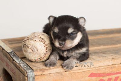 puppy141 week3 BowTiePomsky.com Bowtie Pomsky Puppy For Sale Husky Pomeranian Mini Dog Spokane WA Breeder Blue Eyes Pomskies Celebrity Puppy web-logo7