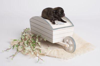 puppy142 week1 BowTiePomsky.com Bowtie Pomsky Puppy For Sale Husky Pomeranian Mini Dog Spokane WA Breeder Blue Eyes Pomskies Celebrity Puppy web1