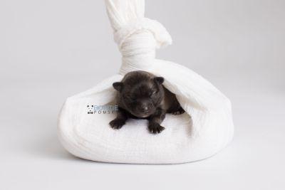 puppy142 week1 BowTiePomsky.com Bowtie Pomsky Puppy For Sale Husky Pomeranian Mini Dog Spokane WA Breeder Blue Eyes Pomskies Celebrity Puppy web3