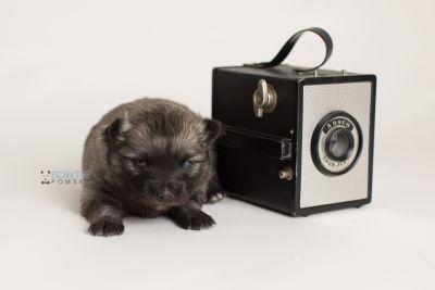puppy142 week3 BowTiePomsky.com Bowtie Pomsky Puppy For Sale Husky Pomeranian Mini Dog Spokane WA Breeder Blue Eyes Pomskies Celebrity Puppy web-logo3