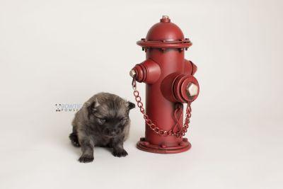 puppy142 week3 BowTiePomsky.com Bowtie Pomsky Puppy For Sale Husky Pomeranian Mini Dog Spokane WA Breeder Blue Eyes Pomskies Celebrity Puppy web-logo4
