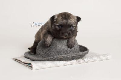 puppy142 week3 BowTiePomsky.com Bowtie Pomsky Puppy For Sale Husky Pomeranian Mini Dog Spokane WA Breeder Blue Eyes Pomskies Celebrity Puppy web-logo5