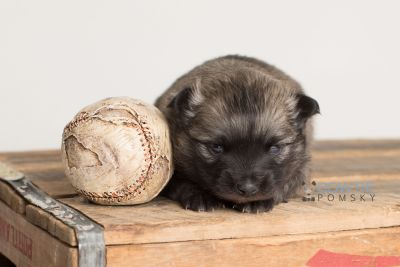 puppy142 week3 BowTiePomsky.com Bowtie Pomsky Puppy For Sale Husky Pomeranian Mini Dog Spokane WA Breeder Blue Eyes Pomskies Celebrity Puppy web-logo6