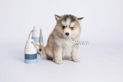 puppy128 week7 BowTiePomsky.com Bowtie Pomsky Puppy For Sale Husky Pomeranian Mini Dog Spokane WA Breeder Blue Eyes Pomskies Celebrity Puppy web-logo2