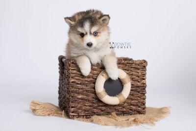 puppy128 week7 BowTiePomsky.com Bowtie Pomsky Puppy For Sale Husky Pomeranian Mini Dog Spokane WA Breeder Blue Eyes Pomskies Celebrity Puppy web-logo3