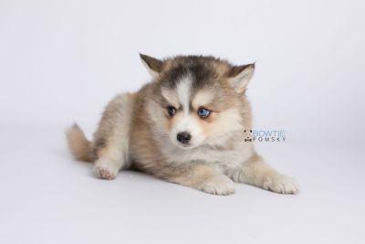 puppy128 week7 BowTiePomsky.com Bowtie Pomsky Puppy For Sale Husky Pomeranian Mini Dog Spokane WA Breeder Blue Eyes Pomskies Celebrity Puppy web-logo6