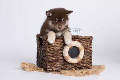 puppy129 week7 BowTiePomsky.com Bowtie Pomsky Puppy For Sale Husky Pomeranian Mini Dog Spokane WA Breeder Blue Eyes Pomskies Celebrity Puppy web-logo3