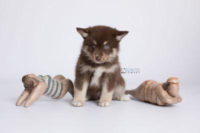 puppy129 week7 BowTiePomsky.com Bowtie Pomsky Puppy For Sale Husky Pomeranian Mini Dog Spokane WA Breeder Blue Eyes Pomskies Celebrity Puppy web-logo4