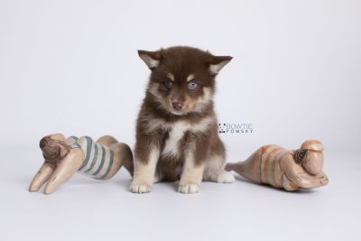 puppy129 week7 BowTiePomsky.com Bowtie Pomsky Puppy For Sale Husky Pomeranian Mini Dog Spokane WA Breeder Blue Eyes Pomskies Celebrity Puppy web-logo4