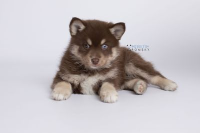 puppy129 week7 BowTiePomsky.com Bowtie Pomsky Puppy For Sale Husky Pomeranian Mini Dog Spokane WA Breeder Blue Eyes Pomskies Celebrity Puppy web-logo6