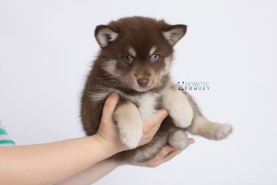 puppy129 week7 BowTiePomsky.com Bowtie Pomsky Puppy For Sale Husky Pomeranian Mini Dog Spokane WA Breeder Blue Eyes Pomskies Celebrity Puppy web-logo7