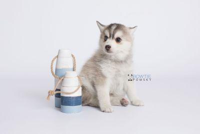 puppy130 week7 BowTiePomsky.com Bowtie Pomsky Puppy For Sale Husky Pomeranian Mini Dog Spokane WA Breeder Blue Eyes Pomskies Celebrity Puppy web-logo2