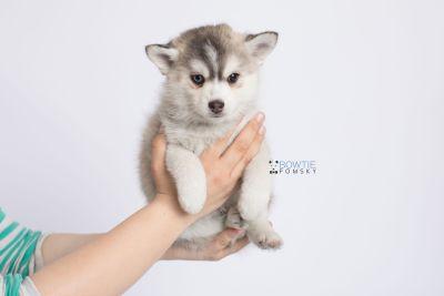 puppy130 week7 BowTiePomsky.com Bowtie Pomsky Puppy For Sale Husky Pomeranian Mini Dog Spokane WA Breeder Blue Eyes Pomskies Celebrity Puppy web-logo7