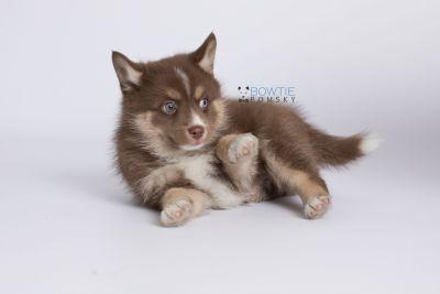 puppy131 week7 BowTiePomsky.com Bowtie Pomsky Puppy For Sale Husky Pomeranian Mini Dog Spokane WA Breeder Blue Eyes Pomskies Celebrity Puppy web-logo7