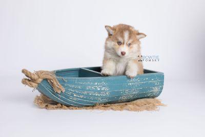 puppy132 week7 BowTiePomsky.com Bowtie Pomsky Puppy For Sale Husky Pomeranian Mini Dog Spokane WA Breeder Blue Eyes Pomskies Celebrity Puppy web-logo1