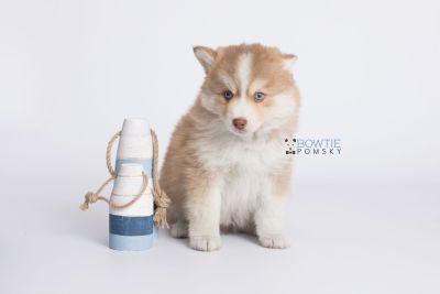 puppy132 week7 BowTiePomsky.com Bowtie Pomsky Puppy For Sale Husky Pomeranian Mini Dog Spokane WA Breeder Blue Eyes Pomskies Celebrity Puppy web-logo2