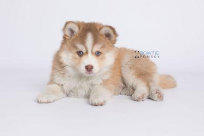 puppy132 week7 BowTiePomsky.com Bowtie Pomsky Puppy For Sale Husky Pomeranian Mini Dog Spokane WA Breeder Blue Eyes Pomskies Celebrity Puppy web-logo6