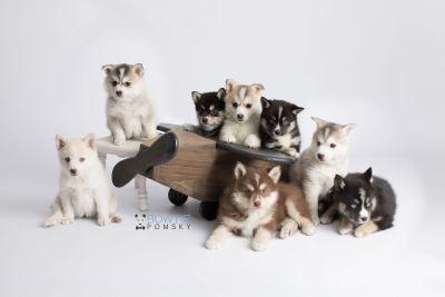 puppy133-140 week7 BowTiePomsky.com Bowtie Pomsky Puppy For Sale Husky Pomeranian Mini Dog Spokane WA Breeder Blue Eyes Pomskies Celebrity Puppy web1