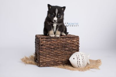 puppy133 week5 BowTiePomsky.com Bowtie Pomsky Puppy For Sale Husky Pomeranian Mini Dog Spokane WA Breeder Blue Eyes Pomskies Celebrity Puppy web-logo6