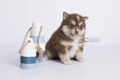 puppy134 week5 BowTiePomsky.com Bowtie Pomsky Puppy For Sale Husky Pomeranian Mini Dog Spokane WA Breeder Blue Eyes Pomskies Celebrity Puppy web-logo2