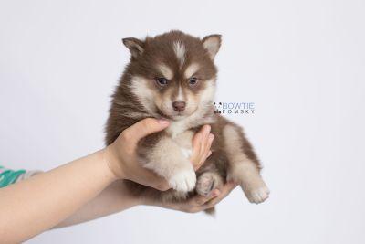 puppy134 week5 BowTiePomsky.com Bowtie Pomsky Puppy For Sale Husky Pomeranian Mini Dog Spokane WA Breeder Blue Eyes Pomskies Celebrity Puppy web-logo7