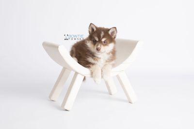 puppy134 week7 BowTiePomsky.com Bowtie Pomsky Puppy For Sale Husky Pomeranian Mini Dog Spokane WA Breeder Blue Eyes Pomskies Celebrity Puppy web1