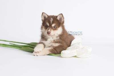 puppy134 week7 BowTiePomsky.com Bowtie Pomsky Puppy For Sale Husky Pomeranian Mini Dog Spokane WA Breeder Blue Eyes Pomskies Celebrity Puppy web3