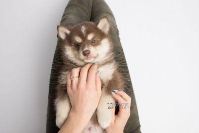 puppy134 week7 BowTiePomsky.com Bowtie Pomsky Puppy For Sale Husky Pomeranian Mini Dog Spokane WA Breeder Blue Eyes Pomskies Celebrity Puppy web7