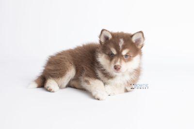 puppy134 week7 BowTiePomsky.com Bowtie Pomsky Puppy For Sale Husky Pomeranian Mini Dog Spokane WA Breeder Blue Eyes Pomskies Celebrity Puppy web9