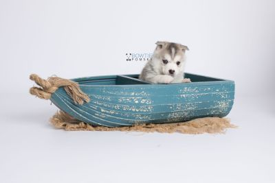 puppy135 week5 BowTiePomsky.com Bowtie Pomsky Puppy For Sale Husky Pomeranian Mini Dog Spokane WA Breeder Blue Eyes Pomskies Celebrity Puppy web-logo1